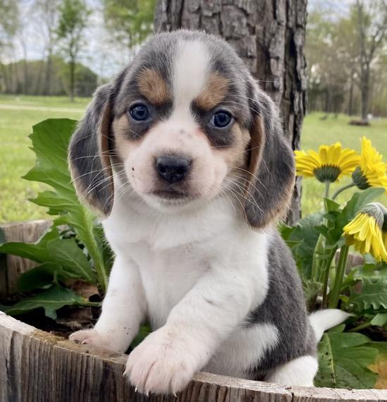 puppies for sale near me